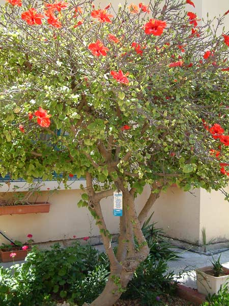Red flowering hibiscus tree